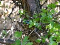 ještěrka zelená Pálavské vrchy
